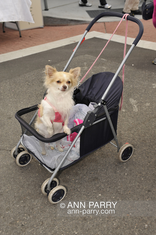 Standing in pet stroller, cute little tan and white dog wearing pink halter with leash, and looking at viewer, (owner stepped out of view) at Bellmore Street Fair, Bellmore, New York, on September 18, 2011.