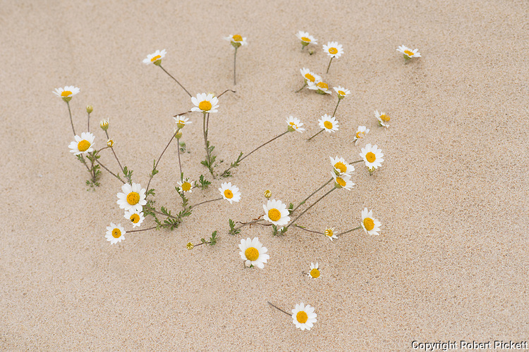Corn Chamomile, Anthemis arvensis, buried at sandy beach, Ria Formosa East, Praia do Barril Beach, Algarve, Portugal