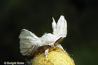 LE42-022b   Silkworm Moth - adult on top of cocoon - just emerged
