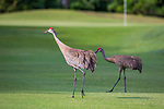 HOWEY IN THE HILLS, FL - MAY 11: Two Sand Hill Cranes check out golfers on the golf course at the Mission Inn Resort. The Claremont Mudd Scripps wins the team and individual (Margaret Loncki) First Place Championships during the Division III Women's Golf Championship held at the Mission Inn Resort & Club on May 11, 2018 in Howey-In-The-Hills, Florida. (Photo by Matt Marriott/NCAA Photos via Getty Images)