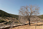 T-073 Hawthorn tree on Mount Meron