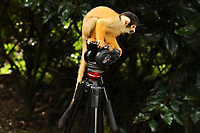Squirrel Monkeys<br /> at the London Zoo annual Weigh-In, Regents Park, London<br /> <br /> <br /> ©Ash Knotek  D3296  24/08/2017