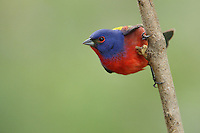 The Painted Bunting's known as North America's most colorful small songbird.