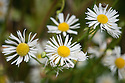 Erigeron annuus, mid October. Common names include Tall fleabane, Annual fleabane  <br /> and Daisy fleabane. &quot;A tall, upright annual, lightly covered throughout in small white hairs, with alternating elliptical leaves. The flowering stems have crowded terminal clusters of white daisies, each about 1.5cm wide, consisting of masses of thin white ray florets surrounding a central yellow disc...The flowers are insignificant at the outset but make up for it in sheer numbers, providing a profusion of white for an exceptionally long period [July-November]. Self sows freely when tufts of seed are carried by the wind.&quot; [Fergus Garrett, Great Dixter, Nurseryman's Favourites, Gardens Illustrated magazine, September 2013]