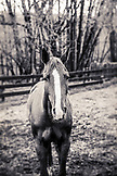 USA, Oregon, Enterprise, one of Todd Nash's horse at the Snyder Ranch