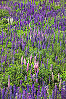 Field of lupines.