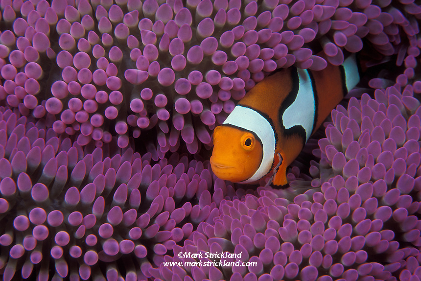 "The same species as animated film star ""Nemo"", a Clown Anemonefish, Amphiprion percula, snuggles among the tentacles of its host anemone.  Milne Bay, Papua New Guinea, Pacific Ocean"