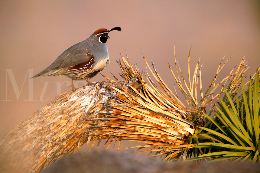 Gambel's Quail (Callipepla gambelii) in the Mojave Desert, California.