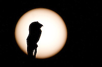 Parintins_AM, Brasil...Mae-da-Lua ou Urutau com a lua cheia ao fundo...The Nyctibiidae with the moon in the background...Foto: JOAO MARCOS ROSA / NITRO