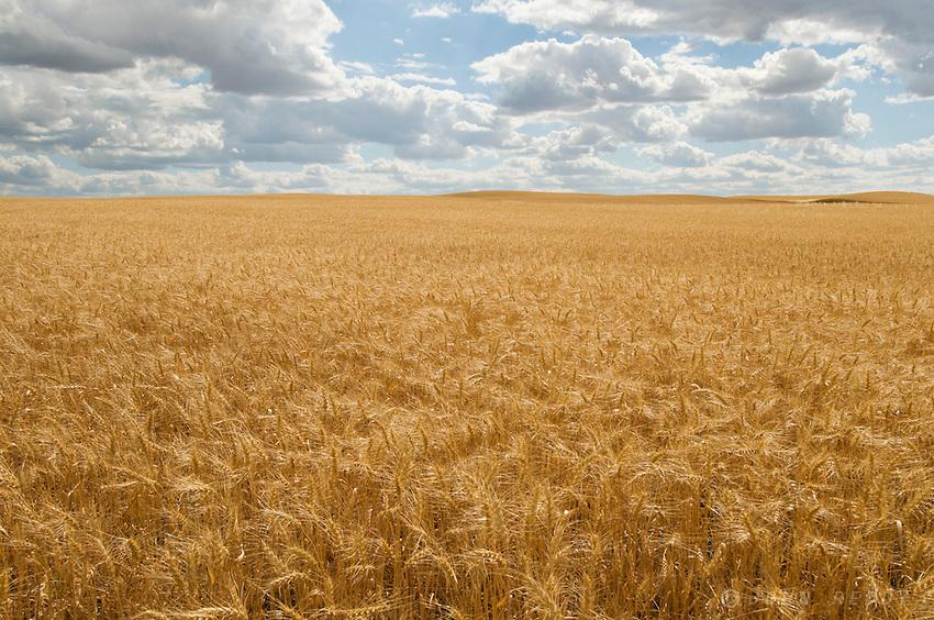 Wheatfield and dramatic sky