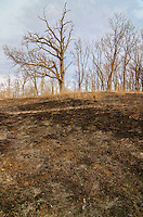Prairies are burned to remove invasive species and restore the natural environment, Morton Arboretum, DuPage County, Illinois