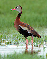 Adult black-bellied whistling duck. One of a pair of adults baby sitting four juvenile birds. The two adult birds repeatedly ran off a juvenile bird that was not one of theirs.