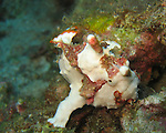Kenting, Taiwan -- A warty frogfish (Anrennarius maculata) clumpsily makes its way over coral rubble.<br /> <br /> The pectoral and ventral fins of frogfishes have evolved into webbed appendages, which they use to grasp, perch or 'walk'.<br /> <br /> They are masters of camouflage and can slowly change color to match their surroundings. For divers they are very difficult to spot.