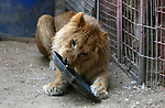 """A lion lays in a cage at a zoo in Rafah in the southern Gaza Strip, during the evacuation by members of the international animal welfare charity """"Four Paws"""" of animals from the Palestinian enclave to relocate to sanctuaries in Jordan, on April 7, 2019. Forty animals including five lions are to be rescued from squalid conditions in the Gaza Strip, an animal welfare group said. Photo by Ashraf Amra"""