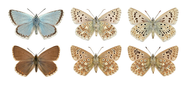 Chalkhill Blue - Polyommatus coridon - male (top row; far right = aberration) - female - (bottom row; far right = aberration). Wingspan 40mm. Iconic downland butterfly, males of which are a unique colour amongst British blues. Adult male has pale sky-blue upperwings; female's are dark brown with orange submarginal spots. Underwings of both sexes are grey-brown with spots. Flies July–August. Larva feeds on Horseshoe Vetch; sometimes discovered at dusk being attended by ants. Very local and restricted to chalk and limestone grassland in southern England.