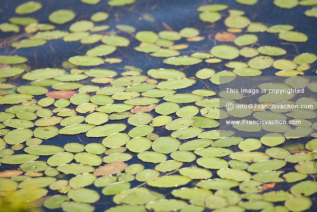 Water Lilies are pictured in a pond on Mount Desert Island, Maine Wednesday June 19, 2013.