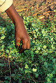 Mbati, Zambia. Hand separating seedlings for planting out.