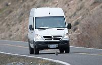 A blue (dusky) grouse attacks a van.