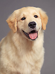 CLoseup portrait of a cute Golden Retriever puppy isolated on gray background