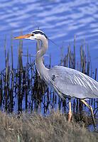 Great Blue Heron, Swantown March, Oak Harbor, Whidbey Island, Washington