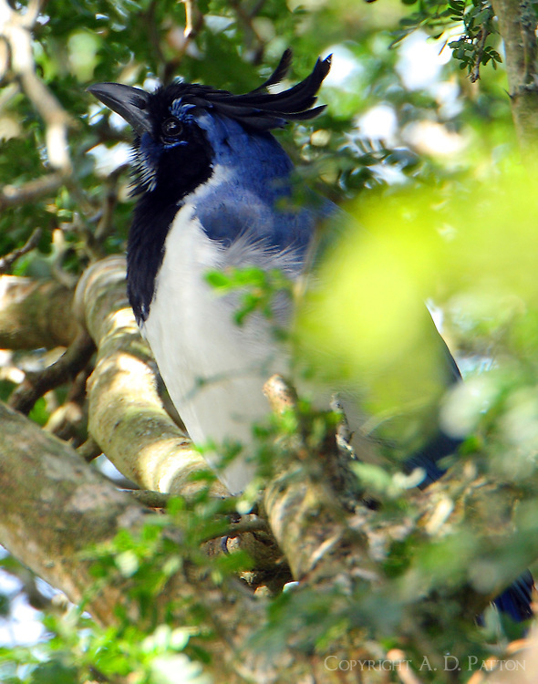 Black-throated magpie-jay. This bird is endemic to western Mexico and is understood to be a released bird here. Too bad I was unable to see the bird's magnificent long tail.