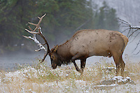 Elk, Wapiti, Cervus elaphus, bull,  Yellowstone NP,Wyoming, September 2005