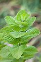 Bowles's mint (Mentha x villosa var. alopecuroides).