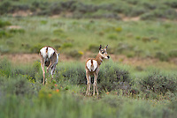 673080100 wild pronghorn antelope antilocarpa americana graze in open plains in bryce canyon national park utah united states