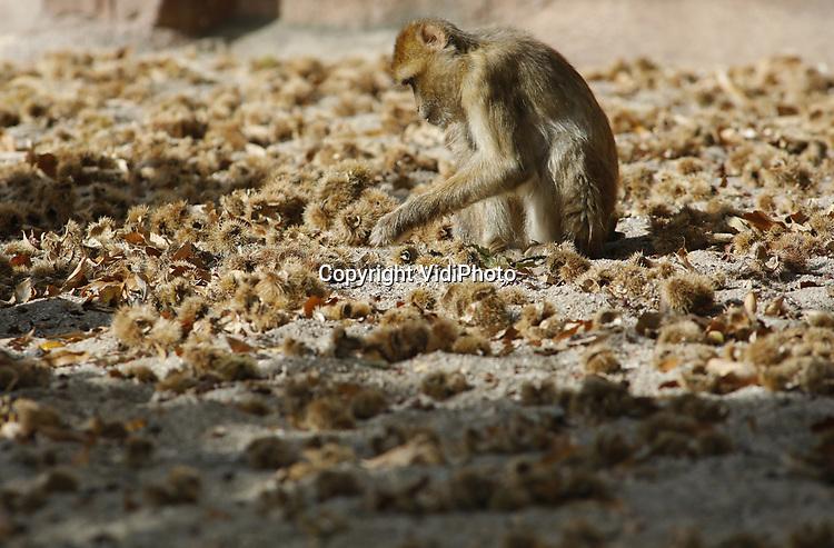 Foto: VidiPhoto<br /> <br /> RHENEN &ndash; Voor de berberaapjes van Ouwehands Dierenpark in Rhenen is het deze weken groot feest. Iedere ochtend als ze naar buiten gaan, vinden ze een nieuwe lading tamme kastanjes. Oorzaak is een kastanjeboom op het park, waarvan de takken boven het verblijf hangen van de enige apensoort die in Europa ook in het wild leeft (Gibraltar). In de herfst hangt de boom vol zoete kastanjes en de dieren kunnen niet wachten tot ze naar beneden vallen. En dat gebeurt op dit moment aan de lopende band. Een deel valt echter in de vijver, maar de vitaminebommen zijn zo populair dat de aapjes daar wel een nat pak voor over hebben. Noten maken wel dorstig.