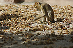 Foto: VidiPhoto<br /> <br /> RHENEN – Voor de berberaapjes van Ouwehands Dierenpark in Rhenen is het deze weken groot feest. Iedere ochtend als ze naar buiten gaan, vinden ze een nieuwe lading tamme kastanjes. Oorzaak is een kastanjeboom op het park, waarvan de takken boven het verblijf hangen van de enige apensoort die in Europa ook in het wild leeft (Gibraltar). In de herfst hangt de boom vol zoete kastanjes en de dieren kunnen niet wachten tot ze naar beneden vallen. En dat gebeurt op dit moment aan de lopende band. Een deel valt echter in de vijver, maar de vitaminebommen zijn zo populair dat de aapjes daar wel een nat pak voor over hebben. Noten maken wel dorstig.