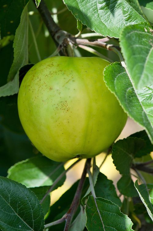 Apple 'Emneth Early' (syn. 'Early Victoria'), mid August. A culinary or cooking apple first introduced in 1899, from Wisbech, Cambridgeshire.
