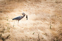 A Great Blue Heron, hunting in a field at the MLK Regional Shoreline, has captured a ground squirrel.