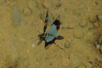 Blauflügelige Ödlandschrecke, Blauflüglige Ödlandschrecke, Weibchen im Flug, Ödland-Schrecke, Oedipoda caerulescens, blue-winged grasshopper, female