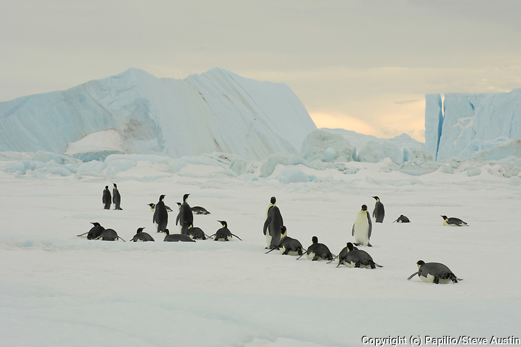 Emperor penguin, Aptenodytes forsteri, adults tobogganing on fast ice, Snow Hill Island, Erebus and Terror Gulf, Antarctic Peninsula, Antarctica