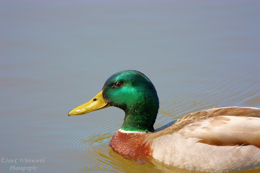 A profile of a male Mallard duck in the water