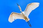 Egret Overhead, Upper Newport Bay.