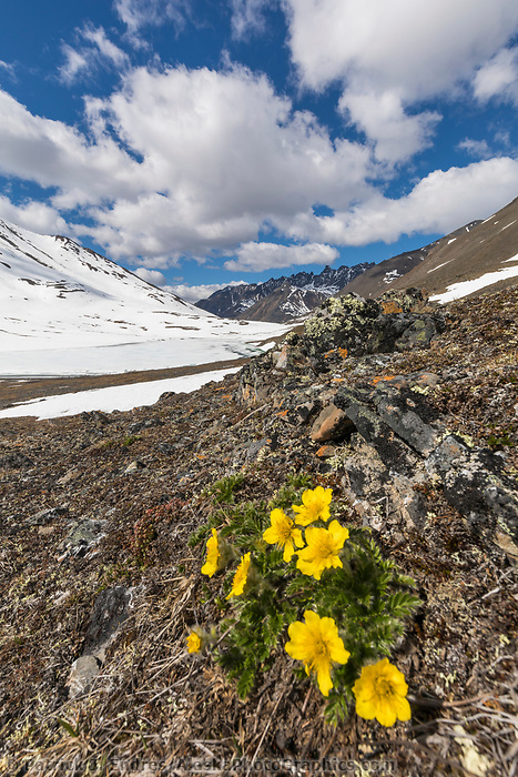 Glacier aven blossoms in Oolah Pass, Gates of the Arctic National Park, Alaska