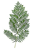 Royal Fern Osmunda regalis