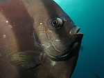 Green Island, Taiwan -- Eye-to-eye with a longfin spadefish (batfish).