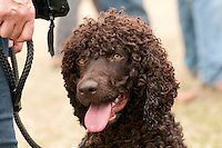 Irish Water Spaniel, CLA Game Fair.