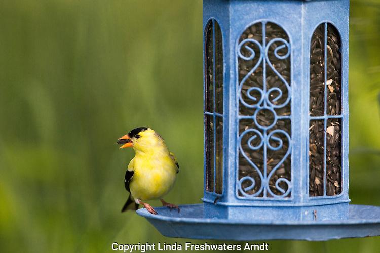 American goldfinch on a backyard bird feeder