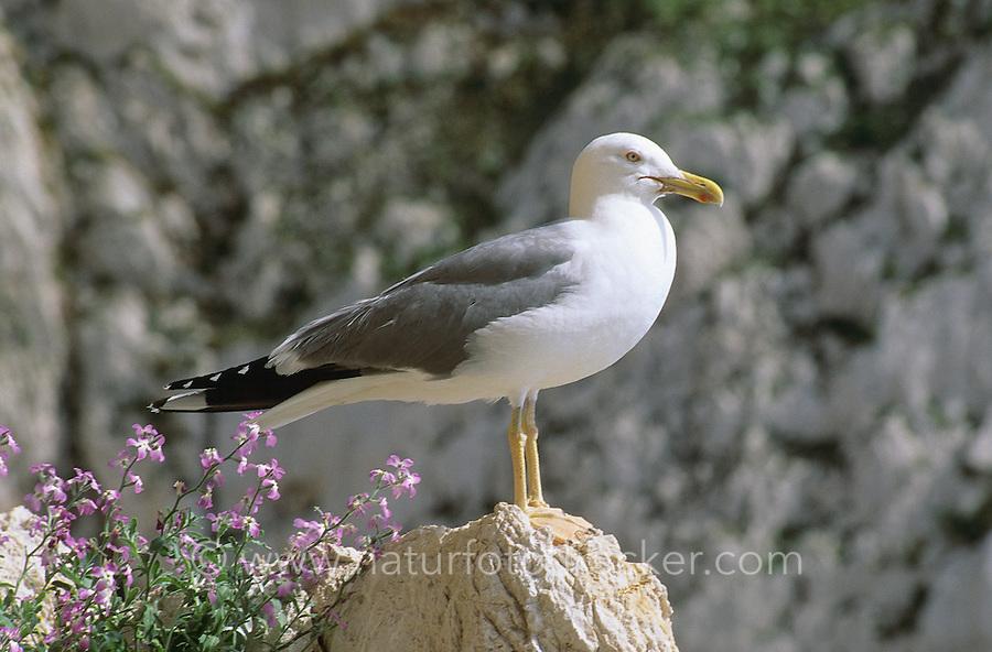 Mittelmeermöwe, Mittelmeer-Möwe, Möwe, Mittelmeermöve, Larus michahellis, Yellow-legged Gull, (Weißkopfmöwe, Larus cachinnans)