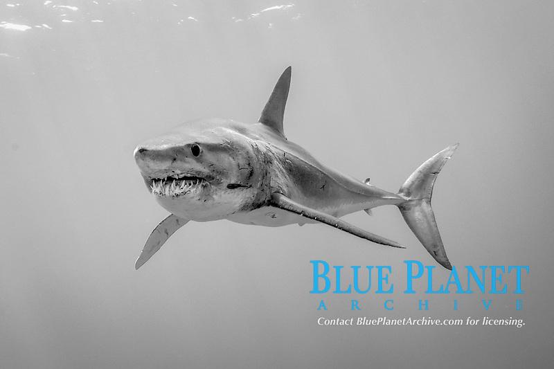 shortfin mako shark, Isurus oxyrinchus, swims near the Azores Bank offshore Pico Island, Azores, Portugal, Atlantic Ocean