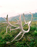 USA, Alaska, caribou antlers lay on the tundra in Denali National Park
