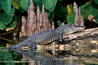 Alligator, American Alligator
