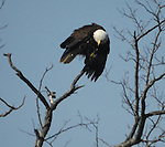Eagle seen on tree over Esopus Creek near the Saugerties Lighthouse, in Saugerties, NY on Thursday, April 3, 2014. Photo by Jim Peppler. Copyright Jim Peppler 2014, All rights Reserved.