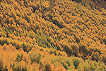 Autumn aspen tree forest in the Vail Valley, Colorado. .  John offers private photo tours and workshops throughout Colorado. Year-round.