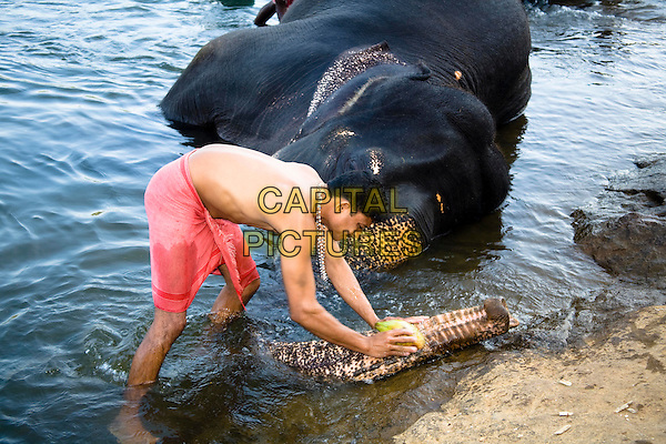 Mahout washing elephant, near Kodanad Elephant Training Centre, Perumbavoor, Ernakulam District, Kerala, India
