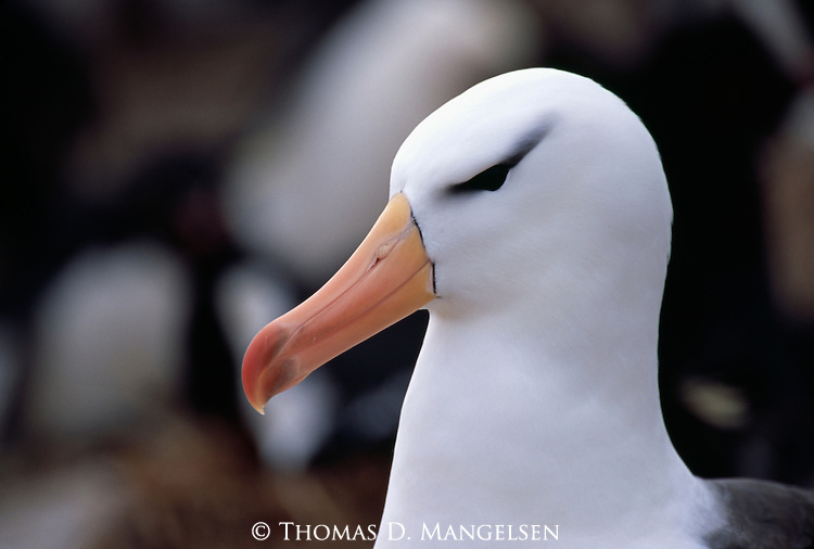 Portrait of a Black-browed Albatross.