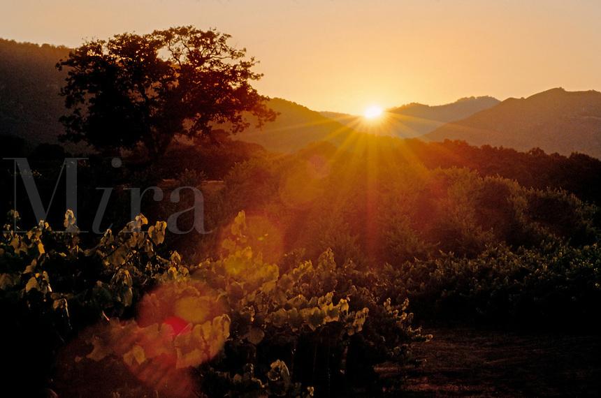 GRAPE VINE rows backlit by SUNSET - JOULLIAN VINEYARDS - CARMEL VALLEY, CALIFORNIA